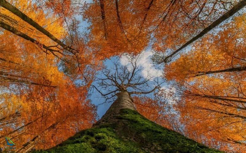 جنگل راش در پاییز