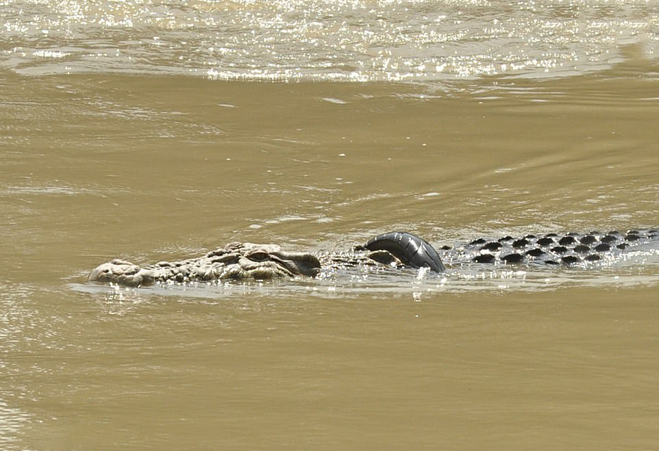تمساح اسیر در لاستیک