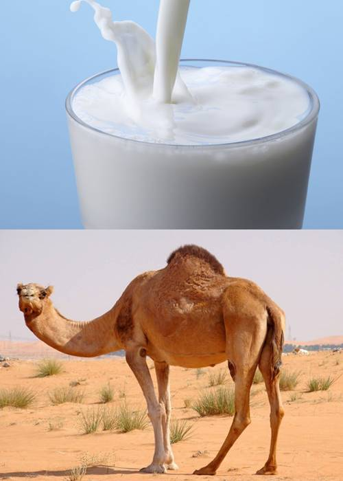 شتر شیر