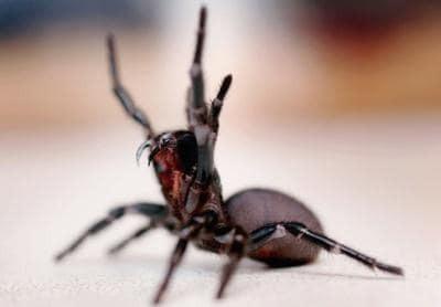 عنکبوت قیف ساز شبکهای
