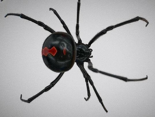 عنکبوت پشت قرمز