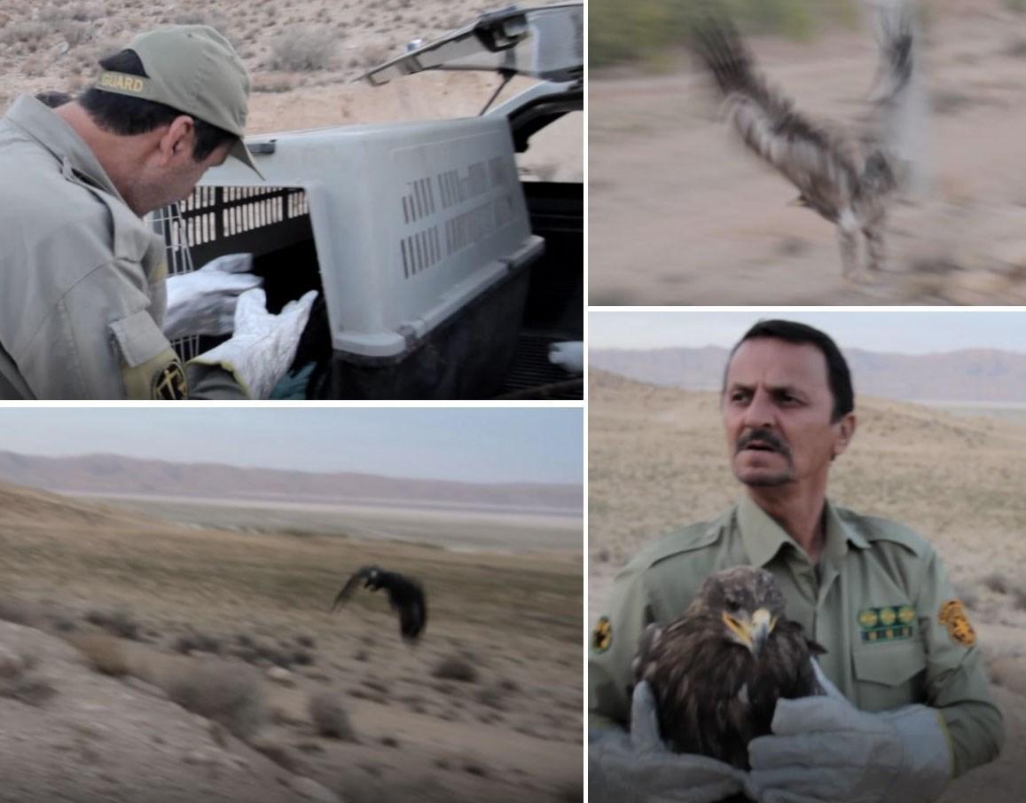 نجات 5 عقاب از مسمومیت مرغها در سروستان + تصاویر