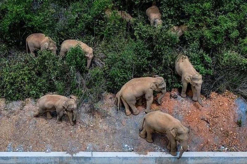 گله فیل (2)