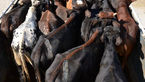 کشف گوسالههای قاچاق در رزن
