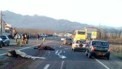عکس تلخ از له شدن اسب ها در جاده املش/ اتوبوس از روی اسب  ها گذشت