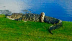 جدال مرگبار یک مار پیتون غول پیکر با کروکودیل + تصاویر