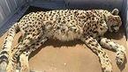حادثه تلخ برای یوزپلنگ ایرانی در جاده مشهد + عکس