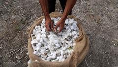کشت ترا ریخته پنبه بهصورت آزمایشی در استان سمنان انجام میشود