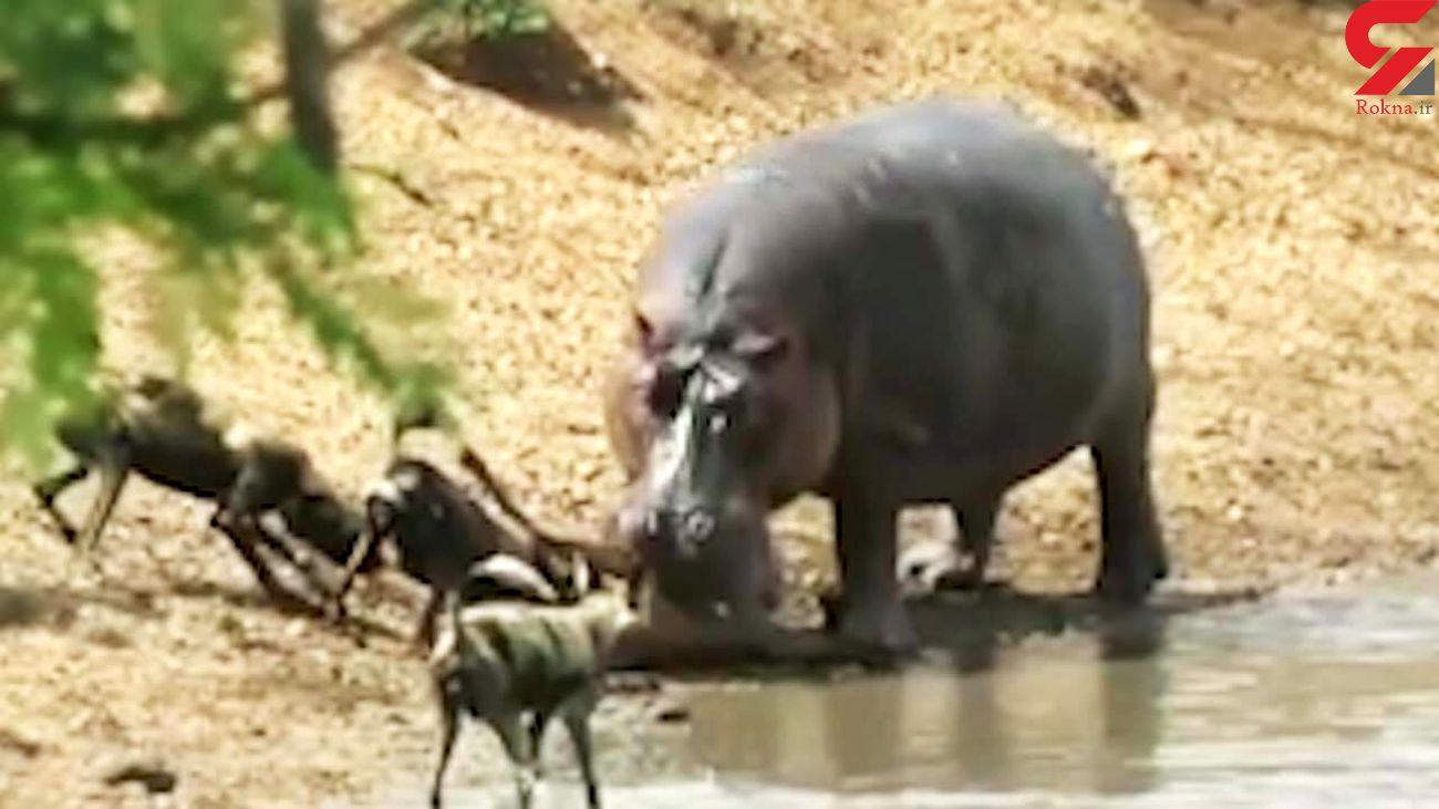 دزدیدن شکار اسب آبی از دهانش توسط چند سگ وحشی + فیلم