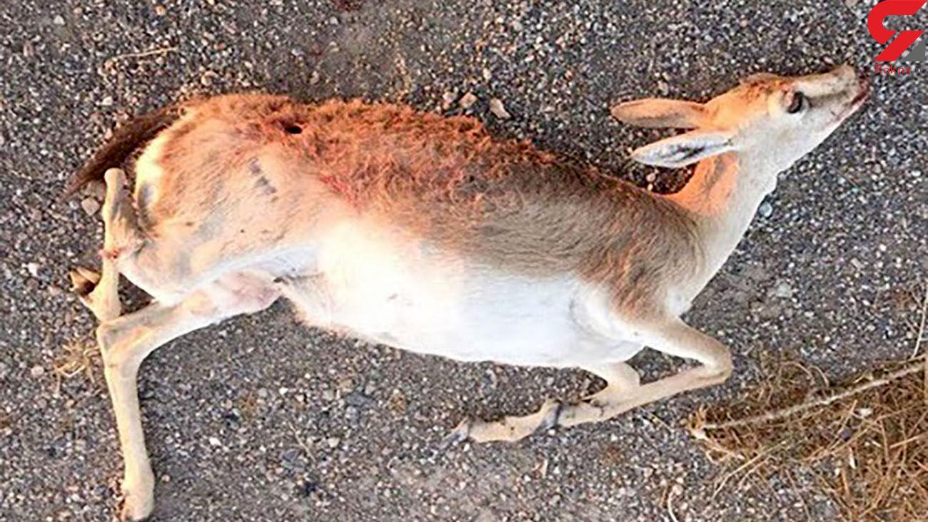 مرگ دردناک آهوی نگونبخت در اقدام بی رحمانه شکارچیان / جاجرم
