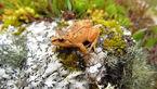 قورباغه حبه انگوری نادرترین قورباغه دنیا +عکس