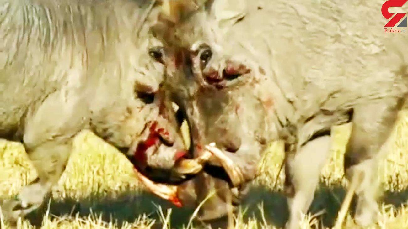 فیلمی از جنگ خونین دو گراز وحشی + فیلم