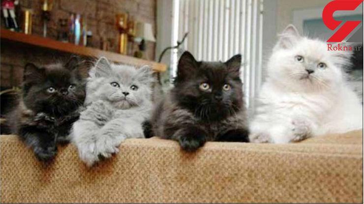 حراج گربه های ایرانی در پرورشگاه گربه در غرب تهران + عکس