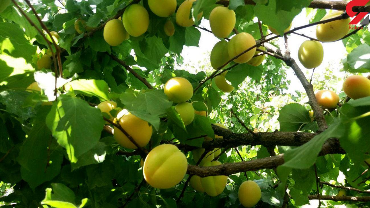 دستگیری 2 سارق میوه های شهرکرد