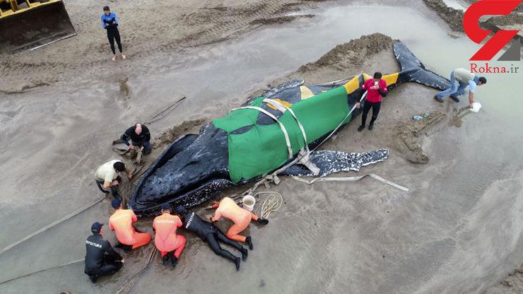 صحنه جالب از تلاش مردمی برای نجات یک نهنگ + تصاویر
