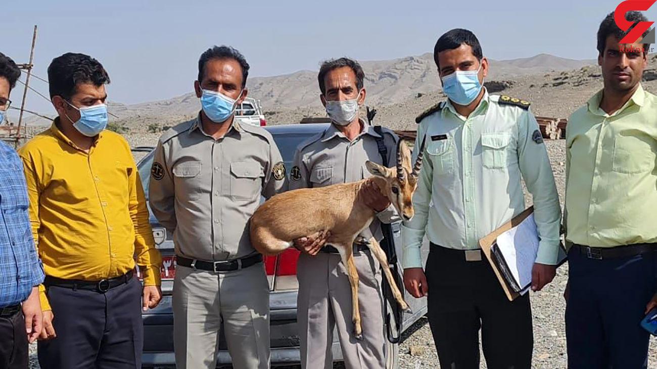 کشف یک راس آهوی جبیر غیرمجاز در شهرستان فاریاب + عکس