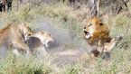حمله شیرهای ماده به سلطان جنگل +عکس های جالب