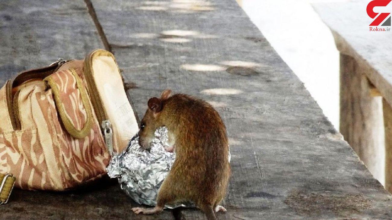 حمله موش گرسنه و غول پیکر به نوزاد 18 ماهه + عکس