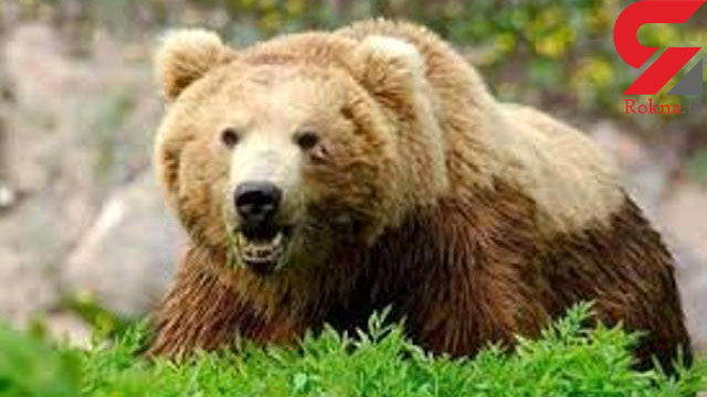یک قلاده خرس در گیلانغرب مجروح شد