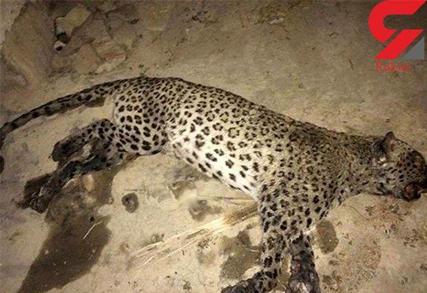 عکس تلخ از لاشه پلنگ ایرانی در گنو+عکس