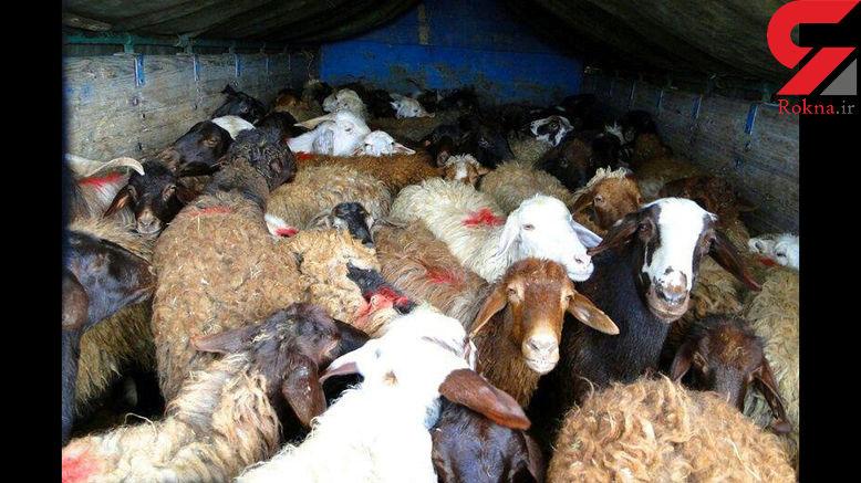 کشف 41 گوسفند قاچاق در بوانات