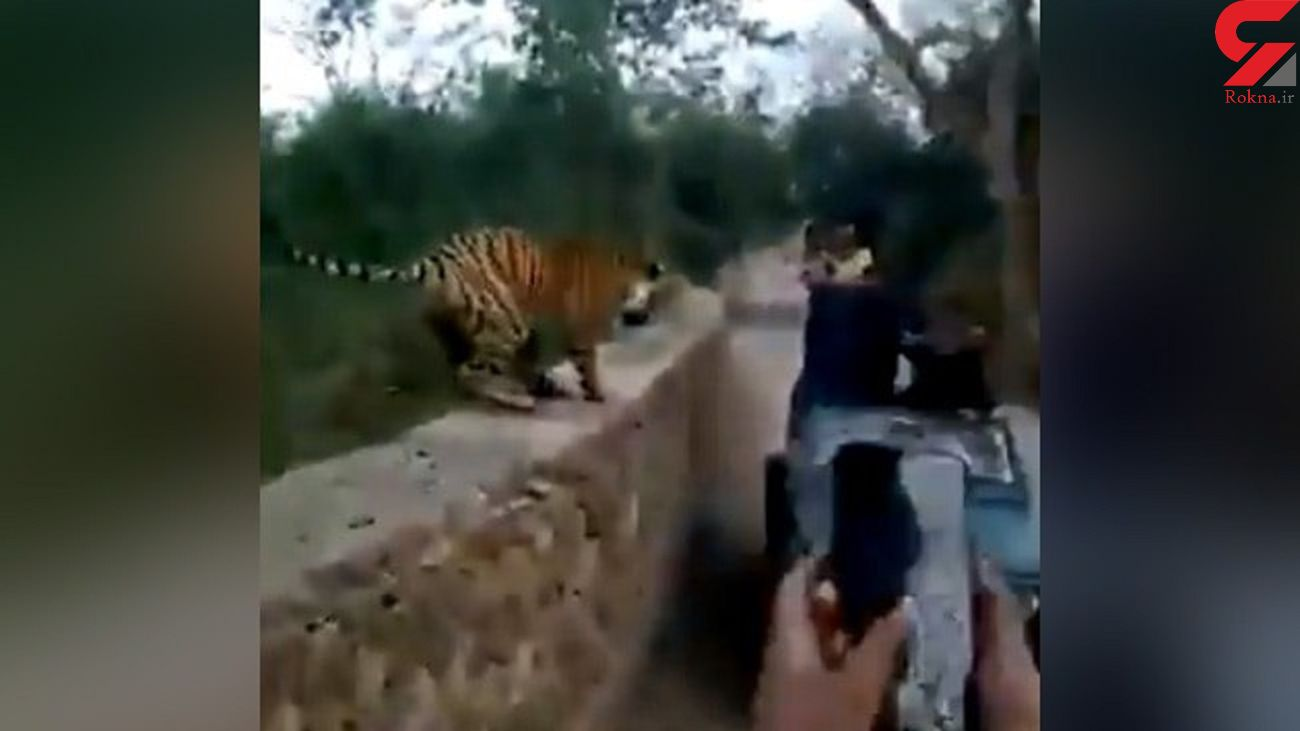 وحشت گردشگران هندی از یک ببر + فیلم
