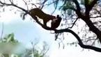 شکار ماهرانه عقاب توسط پلنگ + فیلم