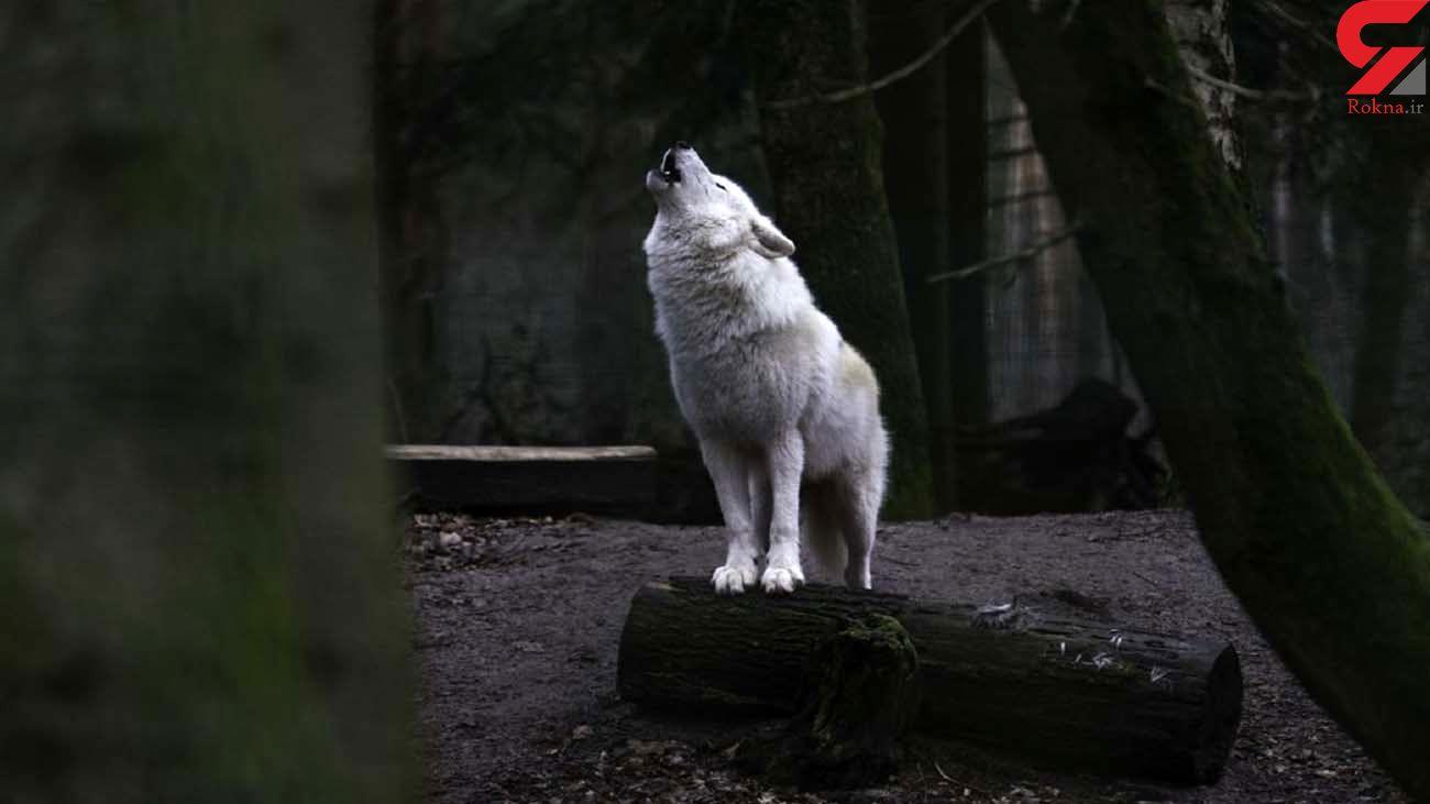 فیلم نجات گرگ خاکستری در استهبان ! / دیدنی