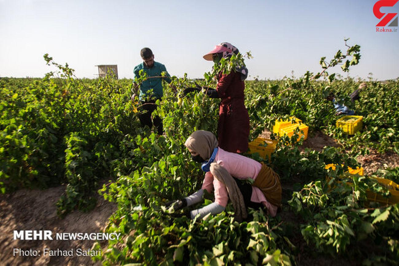 برداشت انگور یاقوتی در اراضی شیبدار دره شهر آغاز شد