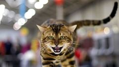«فشنشو گربهها» در پایتخت با مجوزهای دروغین !+ عکس