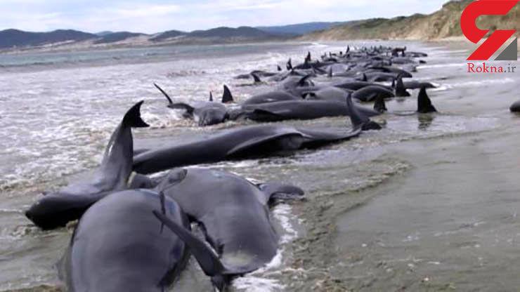 خودکشی ۱۵۰ نهنگ در سواحل استرالیا + عکس تلخ
