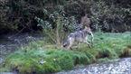 لحظاتی باورنکردنی از شکار ماهی توسط یک گرگ + فیلم