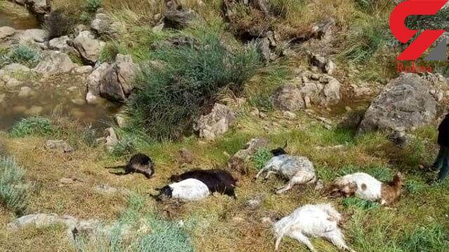 توضیح پلیس بوشهر در خصوص توزیع لاشه گوسفندان بین مردم