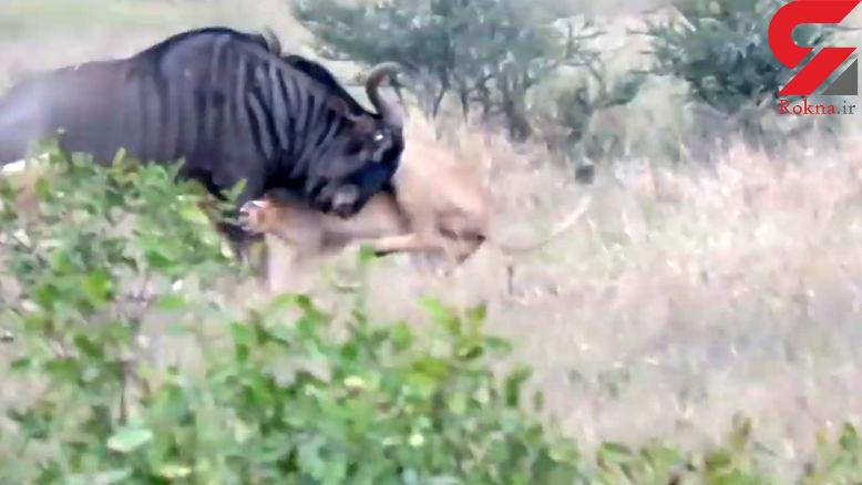 لحظه حمله وحشتناک شیر گرسنه به گاو وحشی+ فیلم و عکس
