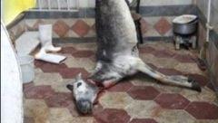 جزئیات جدید از ماجرای الاغ ذبح شده در گرگان / دادستان چه گفت؟ + عکس