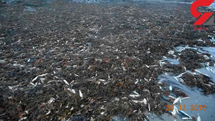 فاجعه مرگ 20 هزار ماهی و ستاره دریایی+عکس