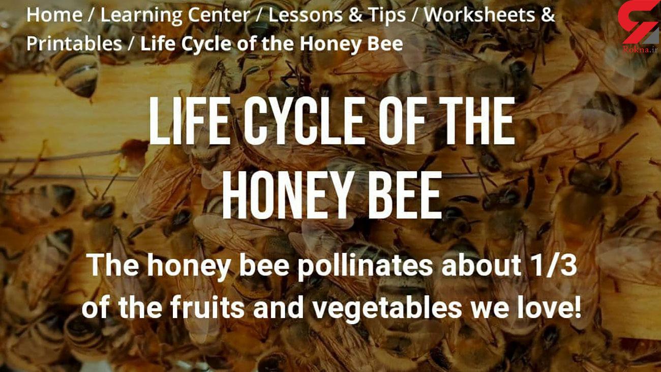 چرا زنبورهای عسل مهم هستند؟