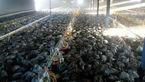 3 هزار مرغ در مرغداری مشگینشهر زنده زنده سوختند + عکس