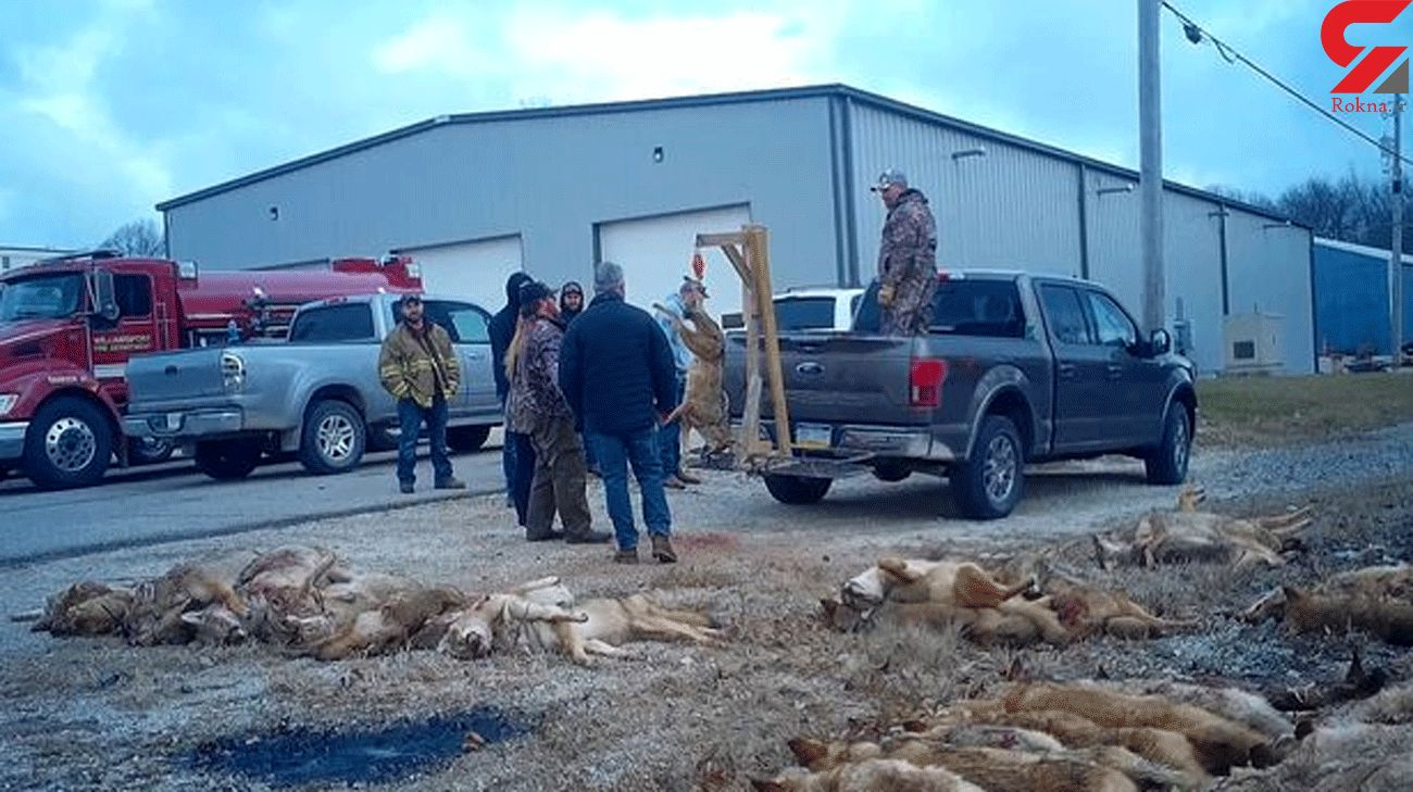Sick photos of slaughtered foxes emerge from barbaric Texas hunt with cash prizes
