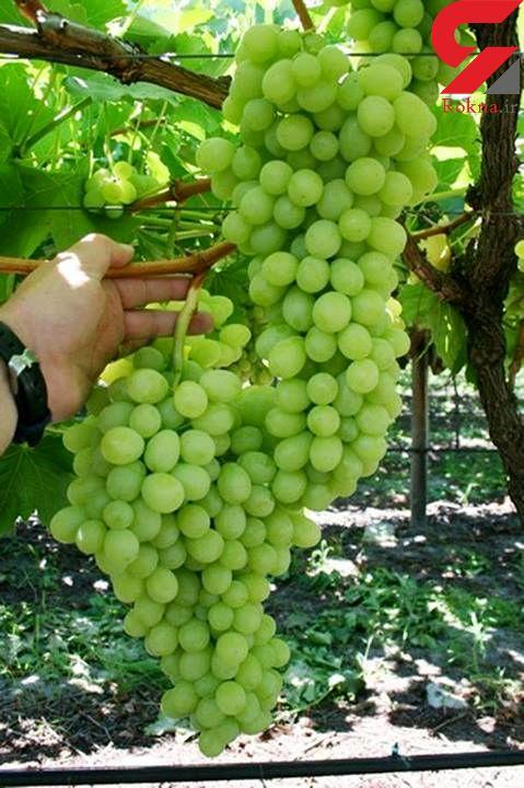 درمان میگرن با آب انگور