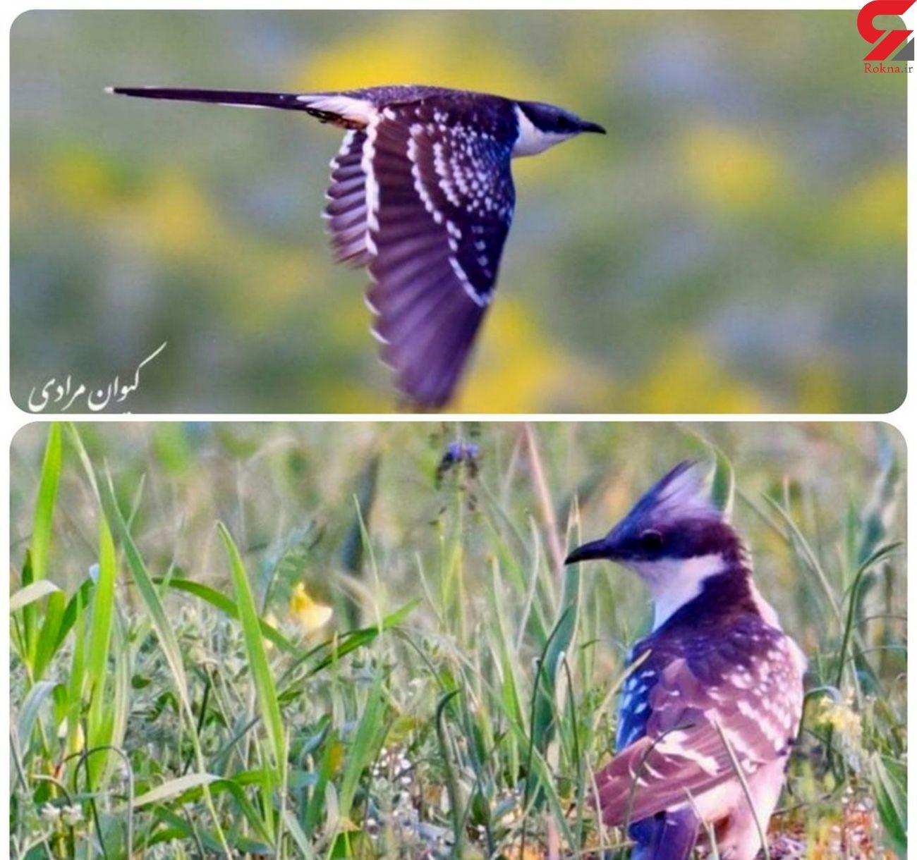 پرنده کمیاب کوکوی خالدار در تالاب زریوار تولید مثل کرد
