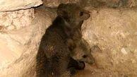 رهاسازی 2 توله خرس بی مادر در طبیعت اندیکا