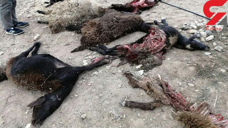 وحشت از حمله گرگها در هشترود! /  شامگاه خونین چه گذشت؟