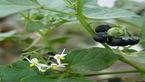 کنترل دردهای سرطانی با یک گیاه دارویی