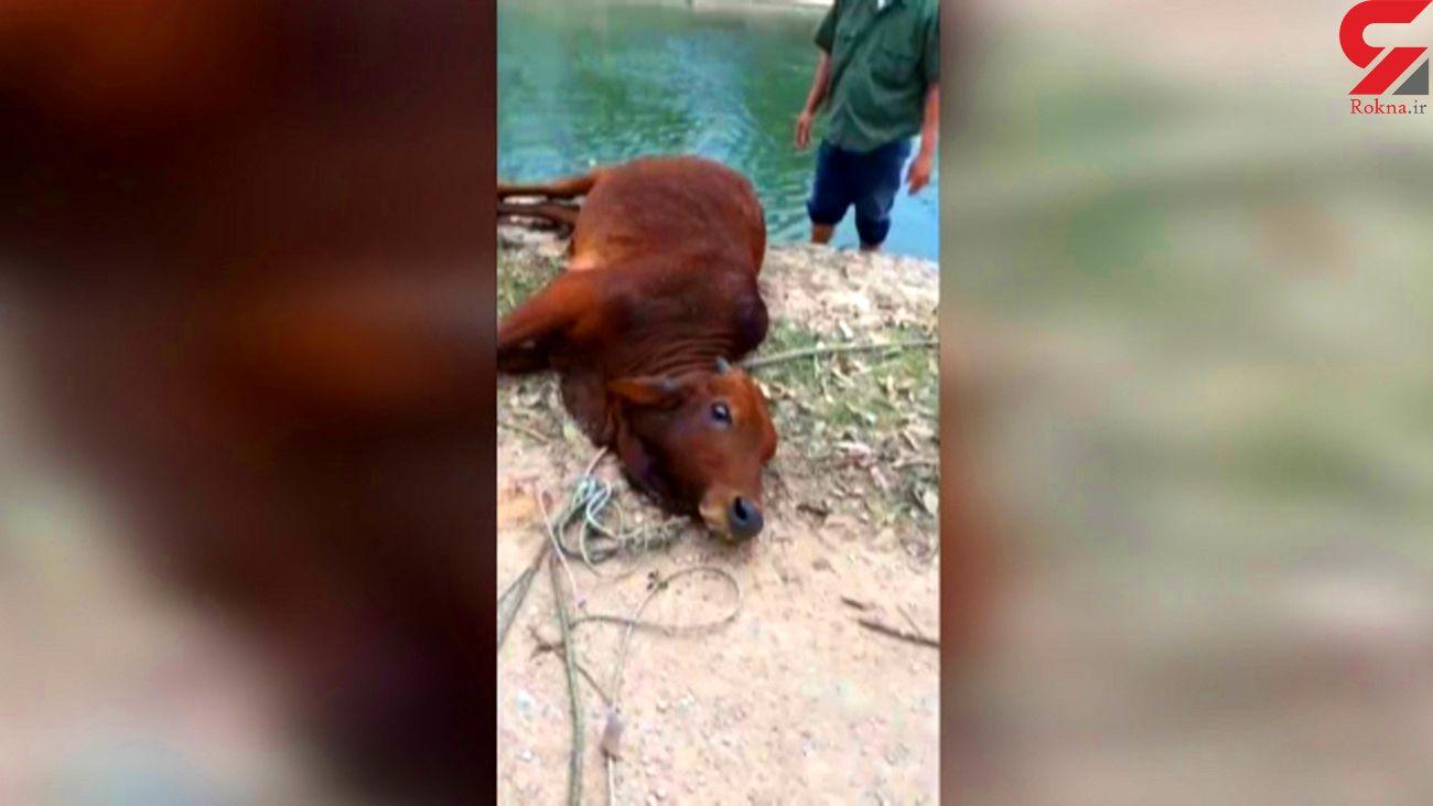 لحظه نجات یک گاو از مرگ + فیلم