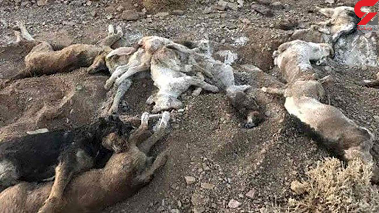 حامیان حیوانات ۱۵ قلاده سگ را در شاهدشهر آتش زدند !