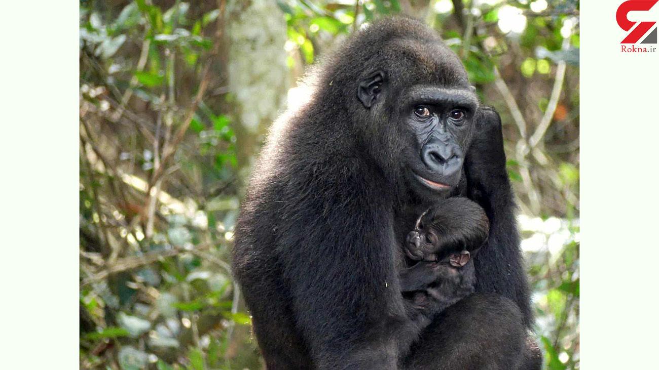 خواب بچه گوریل در آغوش مادرش + عکس
