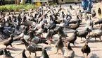 زندان، مجازات غذا دادن به کبوترها در تایلند!