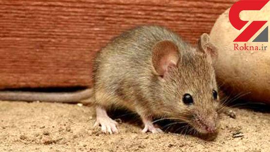 وجود موشها در چرخه اکوسیستم لازم است/ موجودات مفیدی که نمی توان آنها را عقیم کرد!