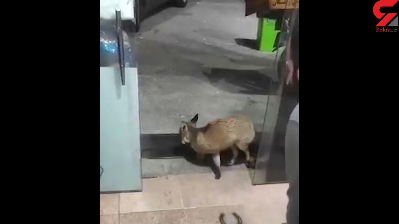 این روباه گرسنه نمی ماند + فیلم